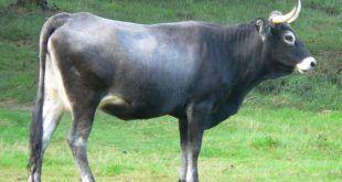Vaca Tudanca