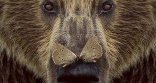 Cartel Cantábrico - Dominios del oso pardo