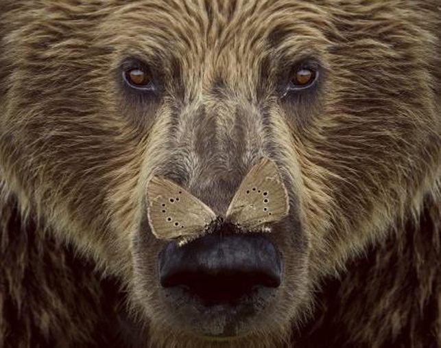Cartel Documental Cantábrico - Dominios del oso pardo