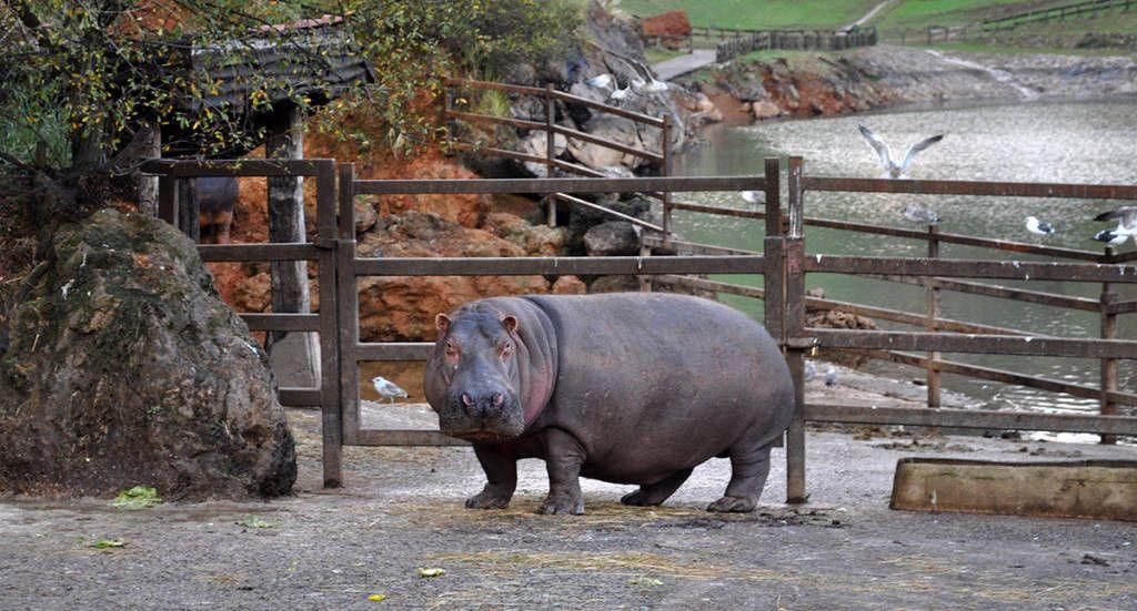 Hipopótamo de Cabárceno (Cantabria)