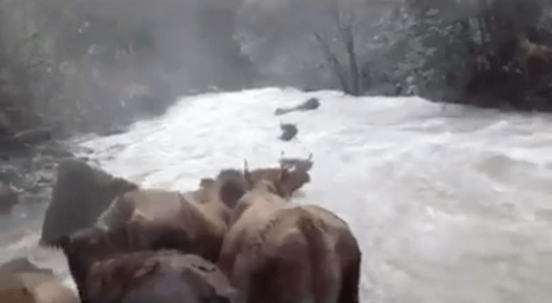 Vacas cruzando un río de Cantabria